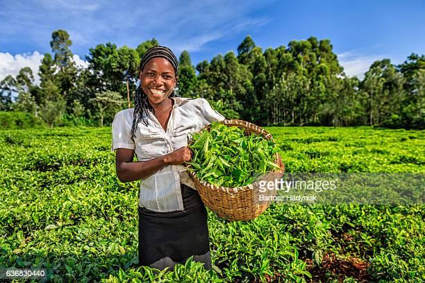 African women plucking tea leaves on plantation, Kenya, East Africa
