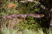 African Wood Owl in flight