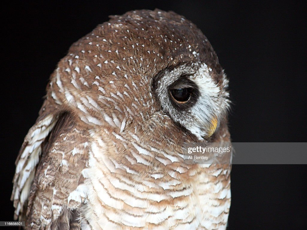 African wood owl : Stock Photo