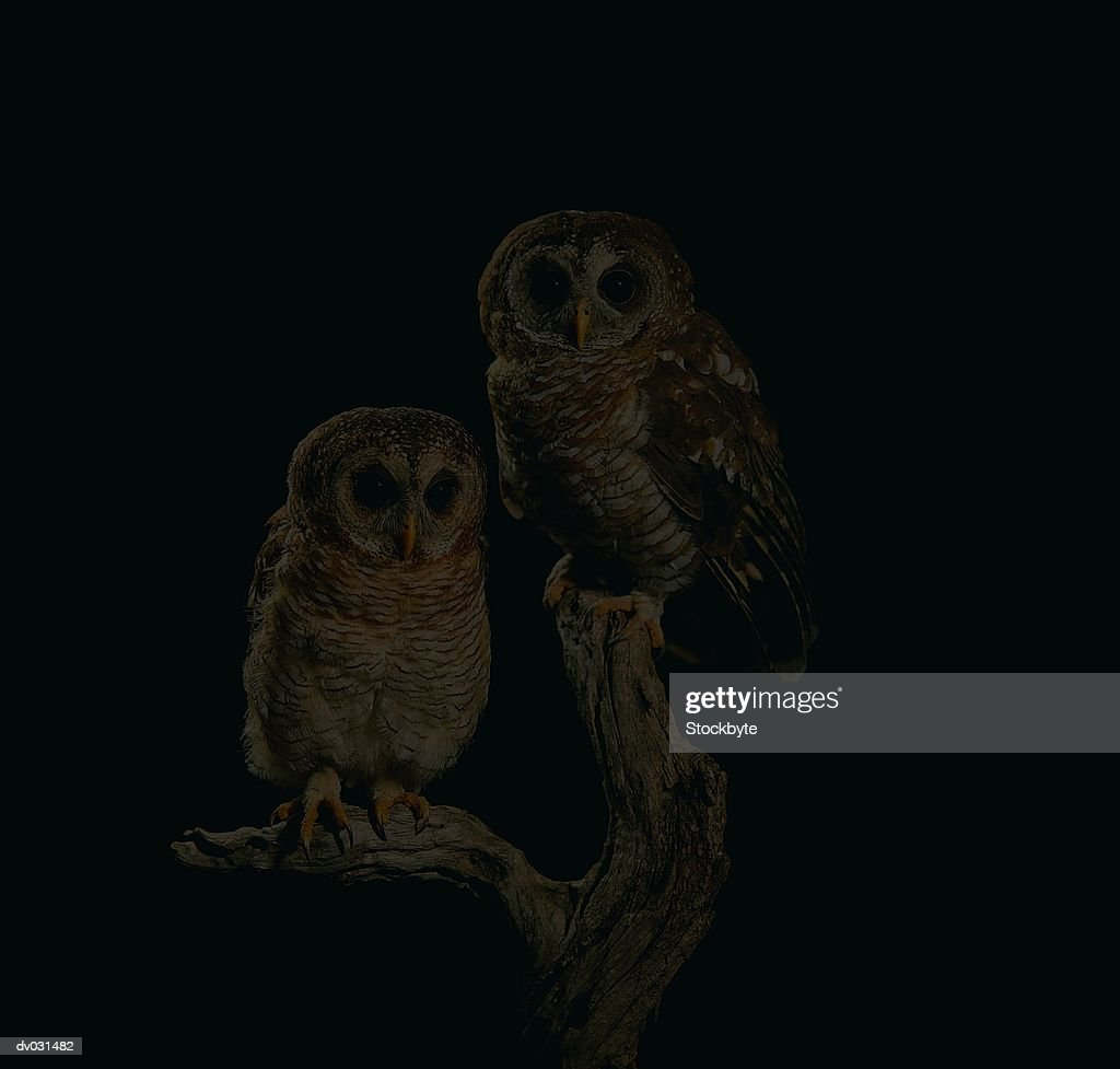 African Wood Owl : Stock Photo