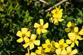 African wood sorrel (Oxalis pes-caprae) flowers in bloom in winter.