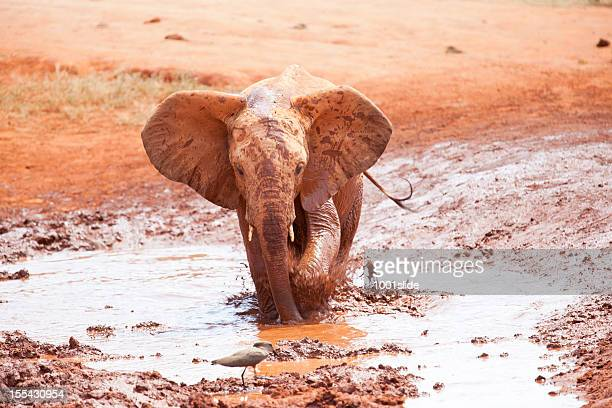 African Young Elephant wants to bird chase away