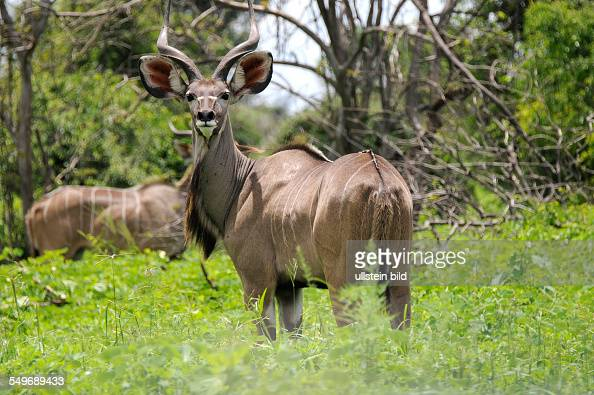 Afrika Botswana Chobe Nationalpark Kudu in der Vegetation