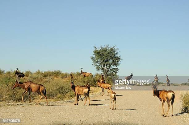 Afrika Südafrika KgalagadiTransfrontierPark Kuhantilopen auf einem Schotterweg und in der Vegetation