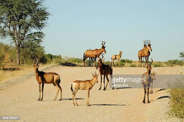 Afrika Südafrika KgalagadiTransfrontierPark Kuhantilopen auf einem Schotterweg