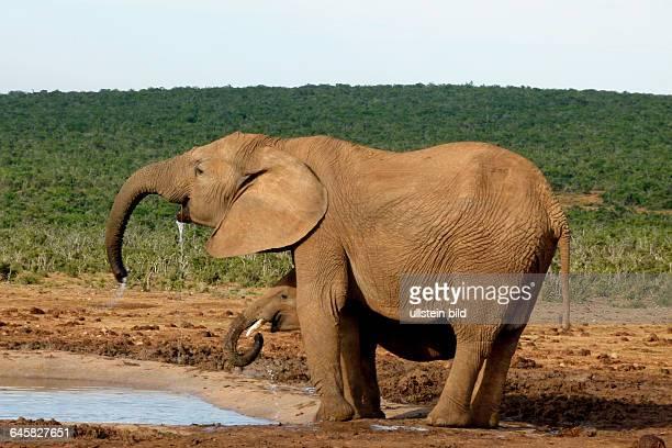 Afrikanische Elefantenkuh und Kalb trinken synchron Südafrika
