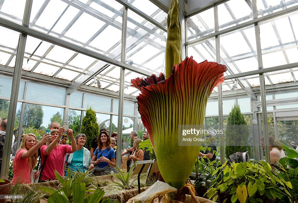 After a nearly three-hour wait, patrons of the Denver Botanic Gardens finally get a chance to view and photograph the Corpse Flower, Amorphophallus titanium, August 19, 2015. The pungent flower blooms after 8 to 20 years of vegetative growth and lasts for up to 48-hours. Thousands waited in line for hours to get a glimpse, smell and have their picture taken close to it. Folks can view the flower until midnight Wednesday and 6 a.m. until midnight Thursday and regular hours on Friday from 9 a.m. until 9 p.m.