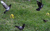 After a sniper killed five police officers in an ambush during a peaceful protest pigeons are seen near evidence markers on July 9 2016 in Dallas TX