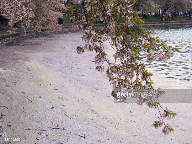 After heavy morning rains cherry blossoms petals float on the Potomac River at the Tidal Basin during the Cherry Blossom Festival in Washington on...