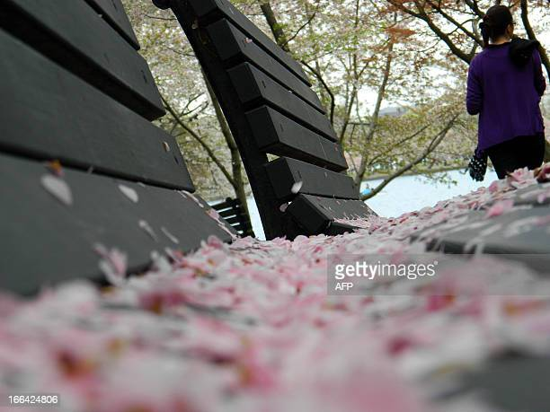 After heavy morning rains cherry blossoms petals lie on a bench at the Tidal Basin during the Cherry Blossom Festival in Washington on April 12 2013...