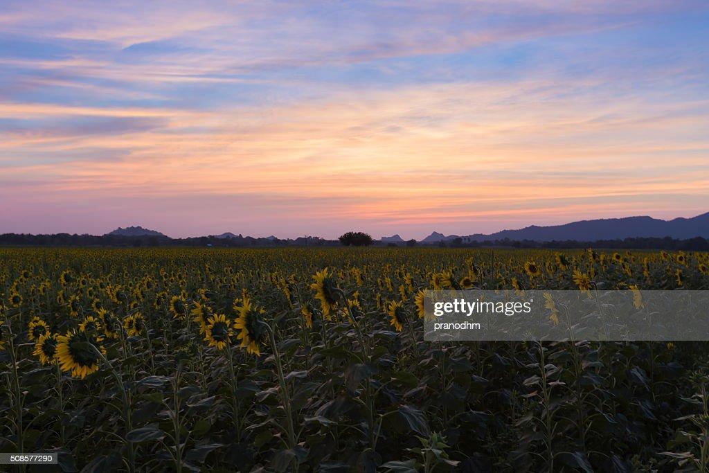 Après le coucher de soleil sur champ de tournesols : Photo