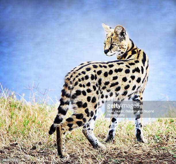 Against the Blue River Background - Serval Cat in Tanzania
