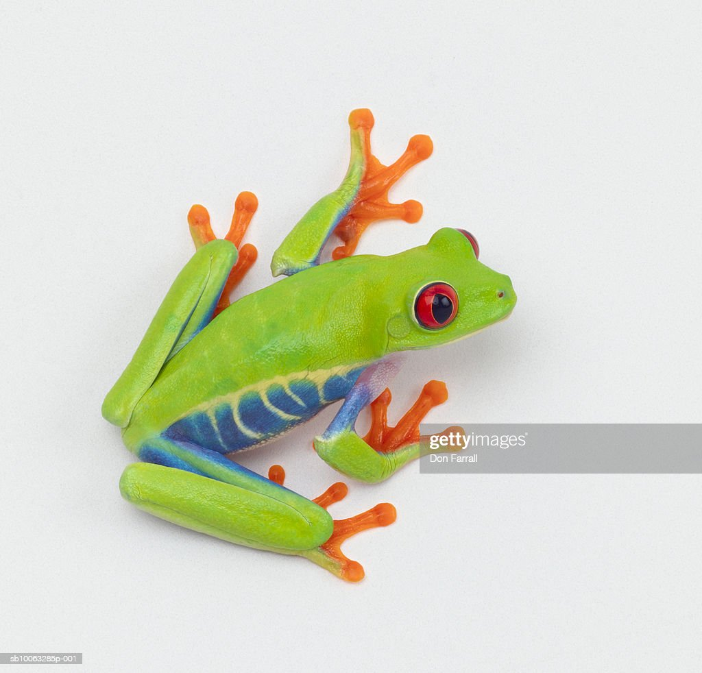 Agalychnis callidryas on white background : Stock Photo