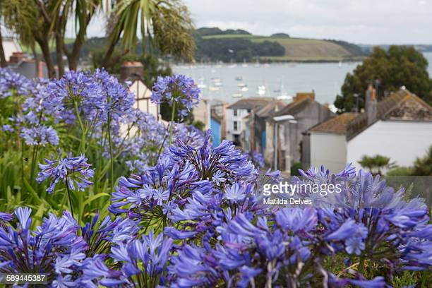 Agapanthus flowers & a view of falmouth & estuary