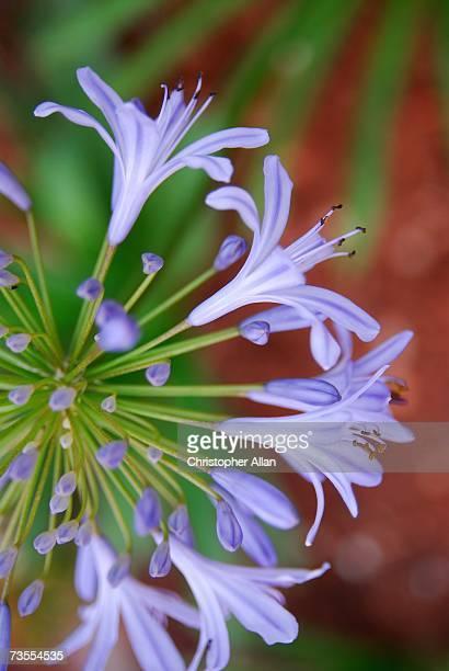 Agapanthus Flowers (Agapanthus praecox) in Bloom