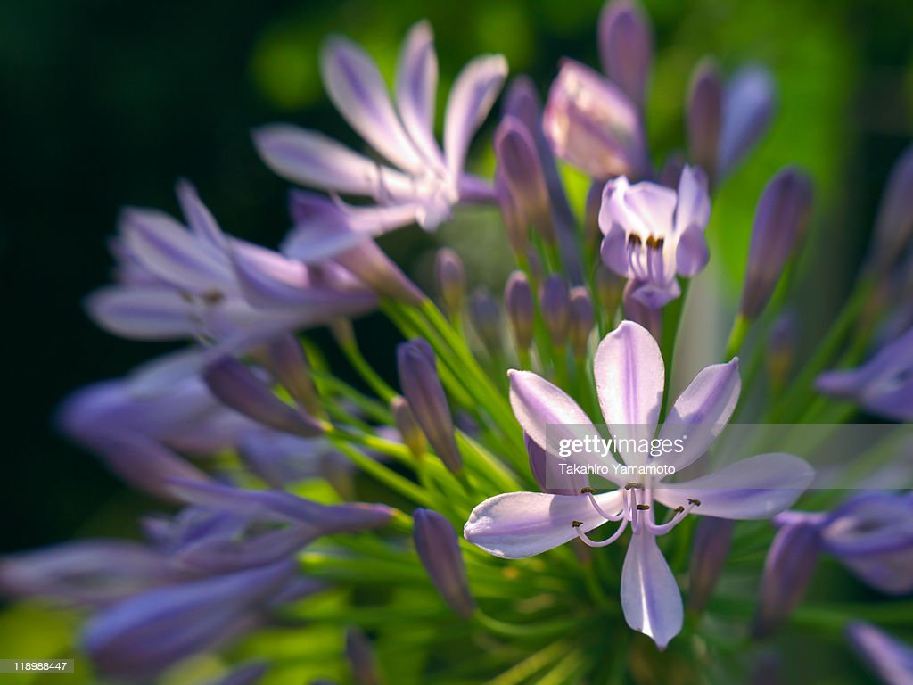 Agapanthus flowers : Stock Photo