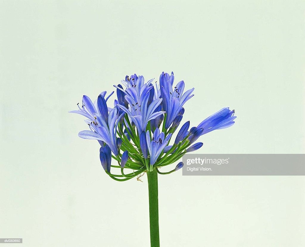 Agapanthus (African Lily)
