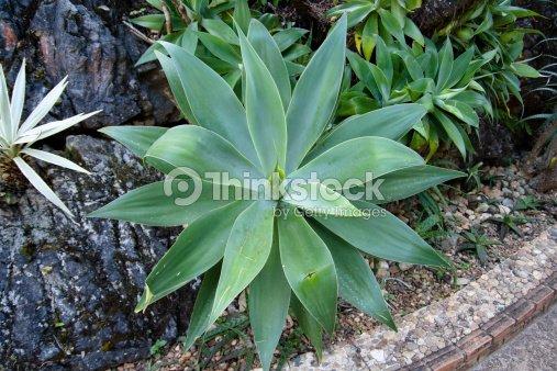 agave si cle de plantes de cactus dans le d sert photo thinkstock. Black Bedroom Furniture Sets. Home Design Ideas