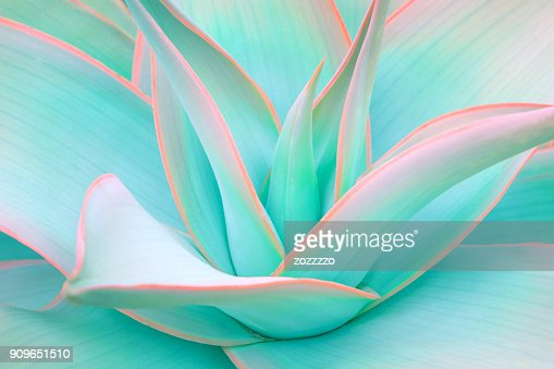 agave leaves in trendy pastel neon colors : Stock Photo