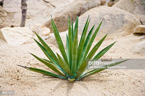 Agave plant growing in the desert