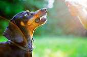 Aggressive black dachshund bared its teeth in front of the woman hand in bright rays sun