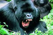 Aggressive Gorilla (Gorilla gorilla)