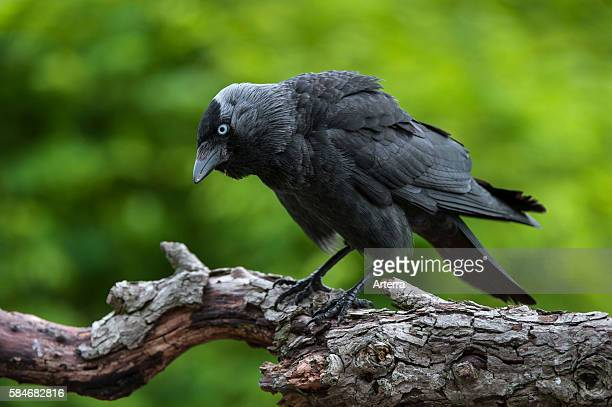 Aggressive Western Jackdaw / European Jackdaw showing defensive / threat posture by erecting its nape and head feathers