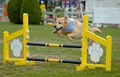 Agile Dog - Labrador