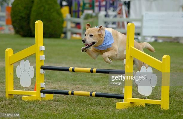 Agile Hund Labrador