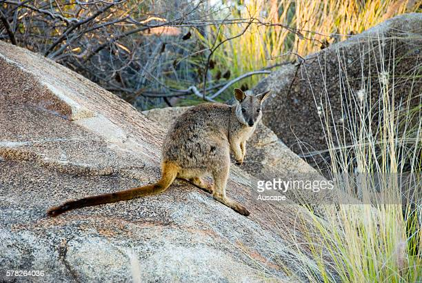 Agile wallaby Macropus agilis on a boulder Charters Towers Queensland Australia