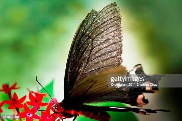 Aging Butterfly