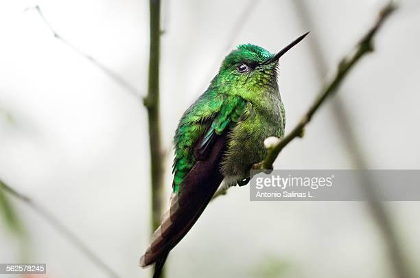 Aglaiocercus kingi (Silfo coliverde). Hummingbird