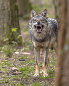 Agressive European grey Wolf (Canis lupus) growling from behand tree as warning of defense. Vicious teeth are shown to scare off the attacker.