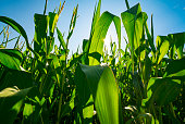 Agribusiness Farm Field of Genetically Modified Corn Crop Growing Before Harvest