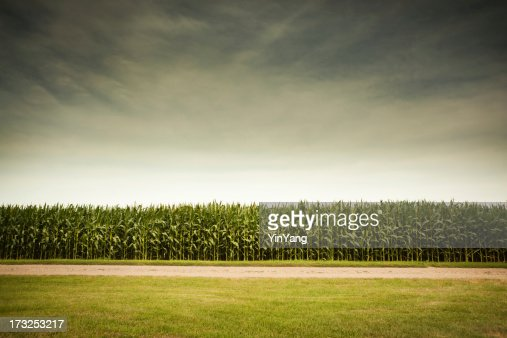 Agricultural Cornfield Under Stormy Sky Forecasts GMO Corn Crop Dangers