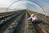 Agricultural engineer working in the greenhouse. Organic agriculture in greenhouses.Agricultural engineer working in the greenhouse. Organic agriculture in greenhouses