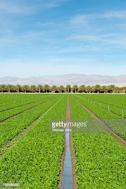 Agricultural field and date farm