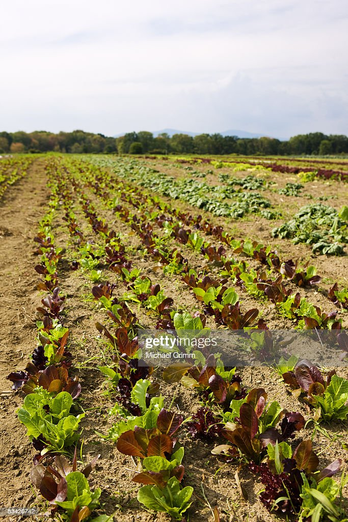 agricultural field with rows of lettuce : Stock Photo