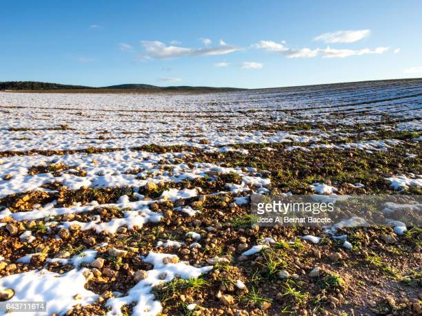 Agricultural fields of farming with snow in winter during the thaw, sowing of growing wheat
