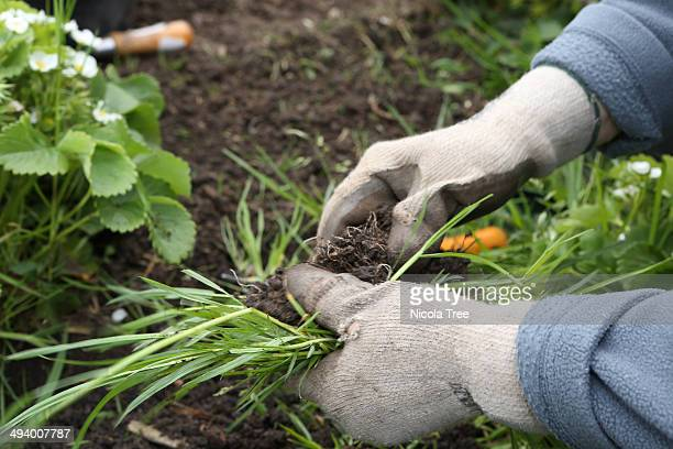 Agricultural worker weeding crops