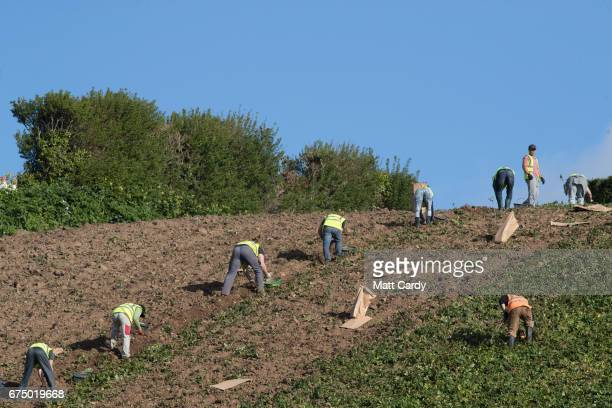 Agricultural workers pick potatoes in a field overlooking Gorey Harbour near St Helier on April 12 2017 in St Helier Jersey Jersey which is not a...