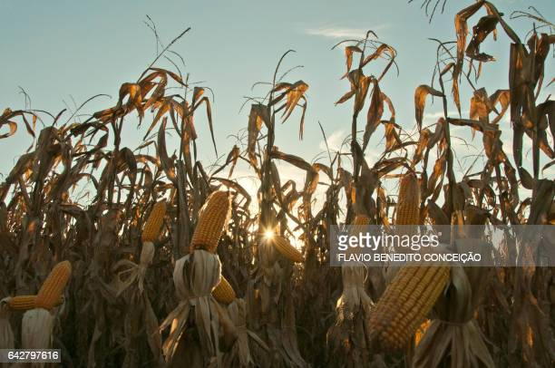 Agriculture corn plantation