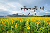 Agriculture drone flying on the sunflower field, Smart farm concept