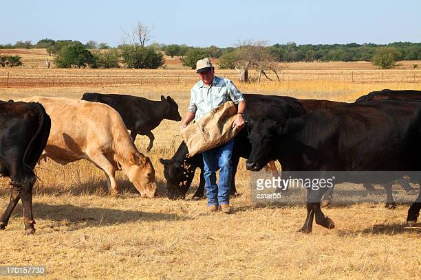Agriculture: Farmer or rancher Feeding Cattle During Drought