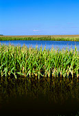 Agriculture - Flooded cornfield caused by Hurricane Ike; near Elva, Illinois, USA.