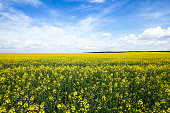 Agricultural field on which grow yellow rapeseed flowers. Spring. blue sky