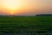 Agriculture - Sunrise over a Mississippi Delta early growth soybean field / Issaquena County, Mississippi, USA.