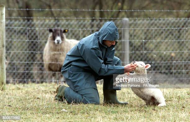 Agriculture Technician Clive Richardson checks a lamb for foot and mouth disease at Caldew Secondary School in Dalston Cumbria The School is in a...