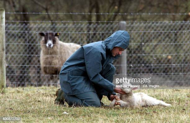 Agriculture Technician Clive Richardson checks a lamb for foot and mouth disease at Caldew Secondary School in Dalston nr Carlisle The School is in a...