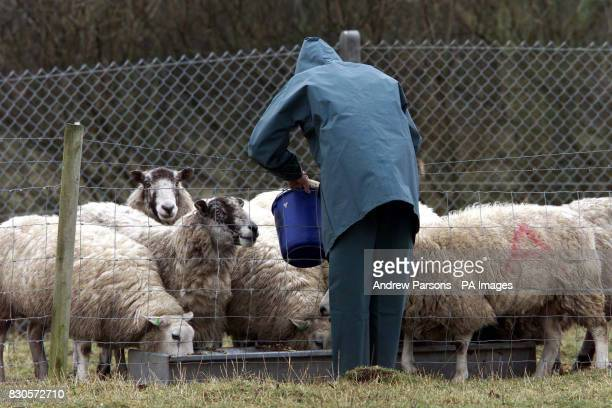 Agriculture Technician Clive Richardson feeds the sheep at Caldew Secondary School in Dalston nr Carlisle The School which is in a high risk area...